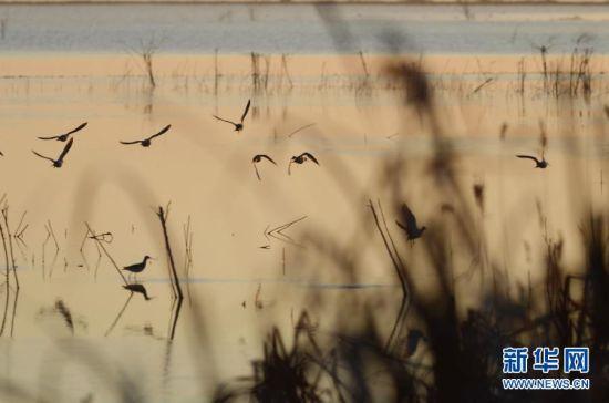 11月7日,几只鹬鸟在卧龙湖生态保护区飞翔。