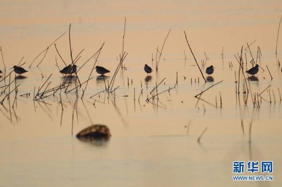 11月7日,几只鹬鸟在卧龙湖生态保护区栖息。