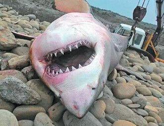 鲨鱼岸边搁浅死亡露血盆大口 民众直呼好恐怖