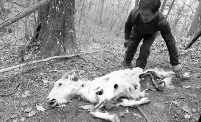 远东豹捕食8只羊 另有19只羊下落不明(图)