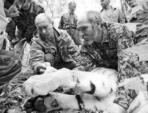 普京放生老虎现身东北 当地称放牛群喂它吃