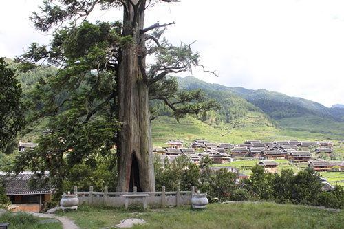 山中发现1596岁杉树 树洞可容七八人站立