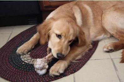 狗狗吃骨头为什么便秘,狗狗吃鸡骨头便秘