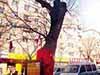 百年旱柳被称神树