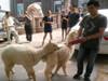 羊驼逛街千人围观