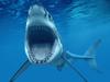 市民60元买条鲨鱼