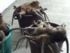 百只猴子因胖被杀