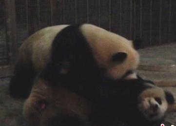 大熊猫看A片交配