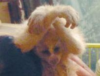 夫妻买懒猴当宠物
