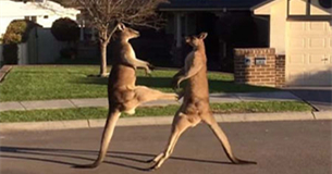 澳大利亚袋鼠当街斗殴 拳击腾空飞踢