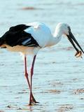 凌源发现世界罕见东方白鹤