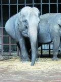 大象喝二锅头取暖