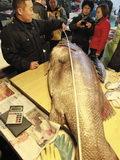 180斤重石斑鱼现身大连
