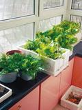 教授阳台成种菜实验室