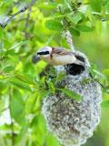 大连发现罕见物种中华攀雀