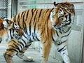 老虎周末见丹东市民