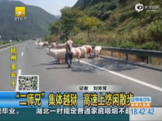 实拍货车高速侧翻 22头母猪越狱悠闲散步